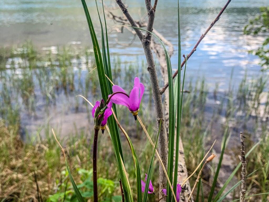 shooting star wildflower along Middle Lake Kananaskis
