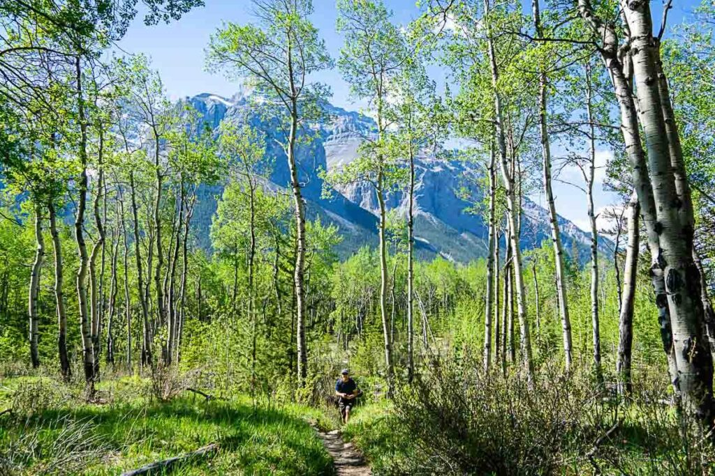 Aspen forest on Aylmer Lookout hiking trail - Banff