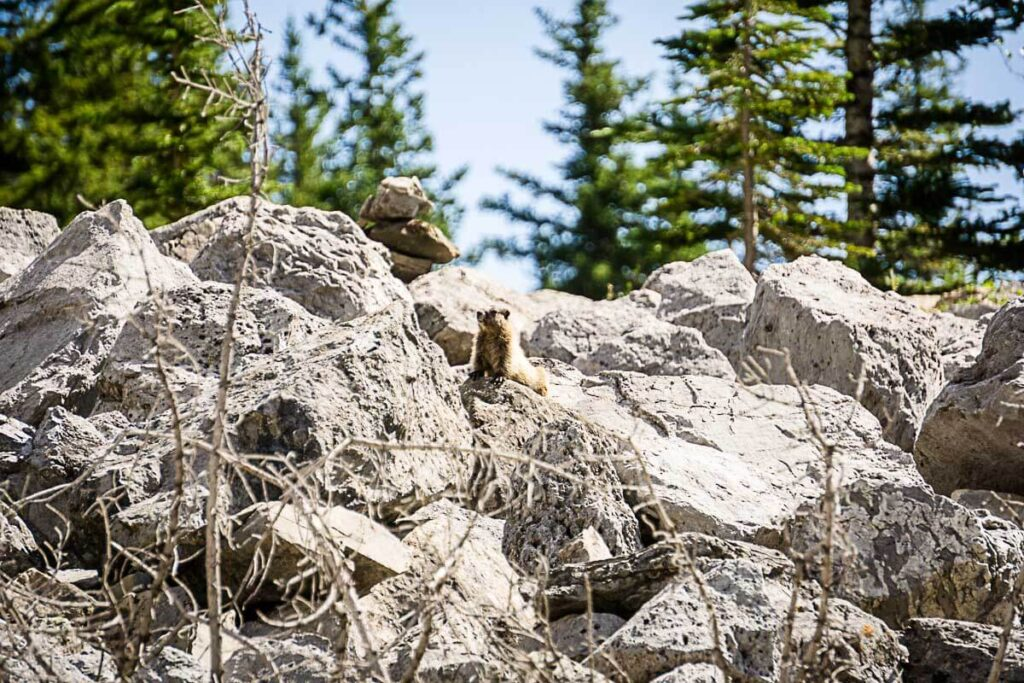 Hoary Marmot on C Level Cirque Hike