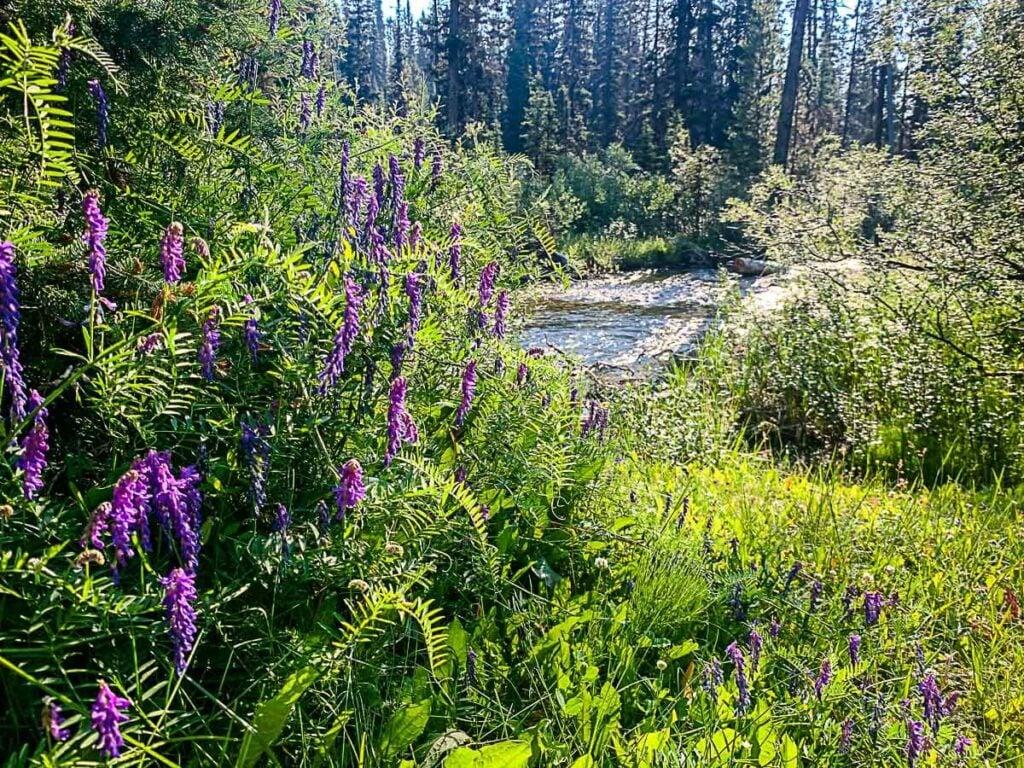 Wildflowers growing along Boom Lake hiking trail