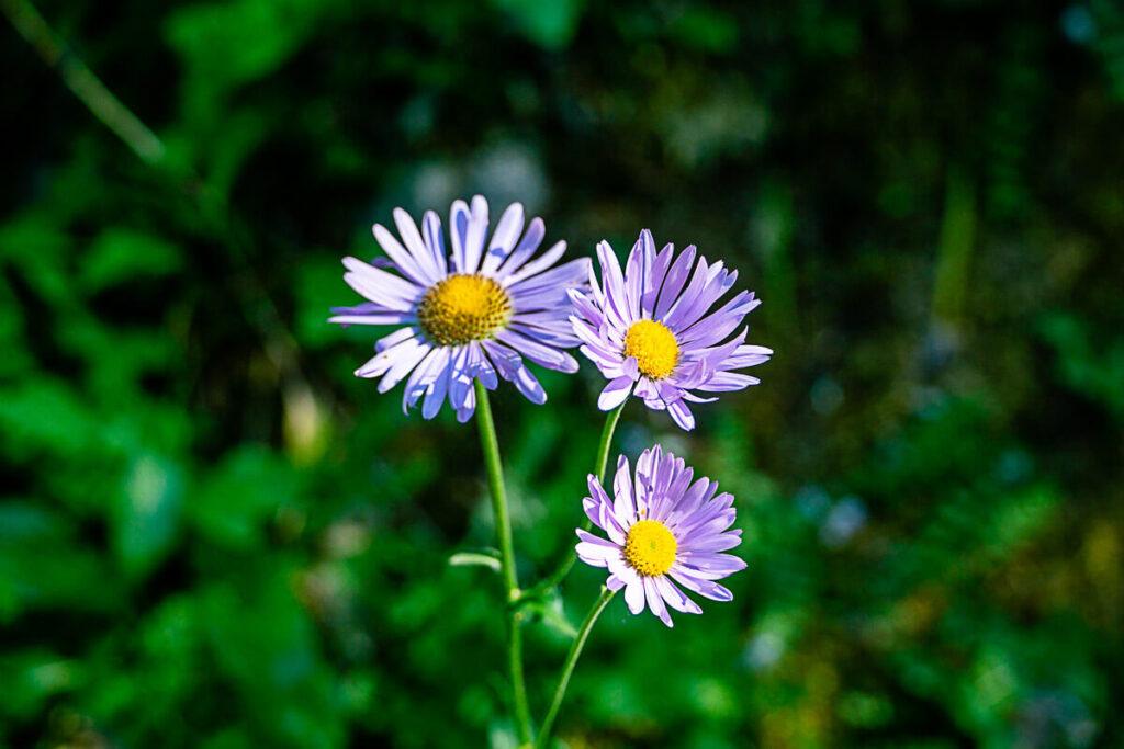 purple wildflowers along Boom Lake trail in Banff in Summer