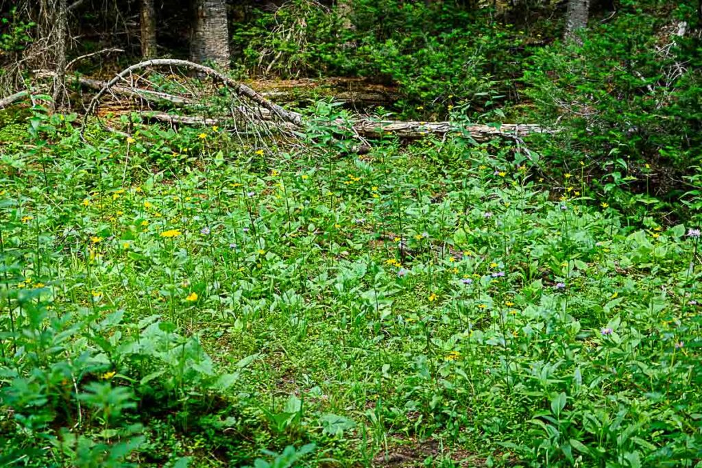 Wildflowers blooming in summer along Rawson Lake trail