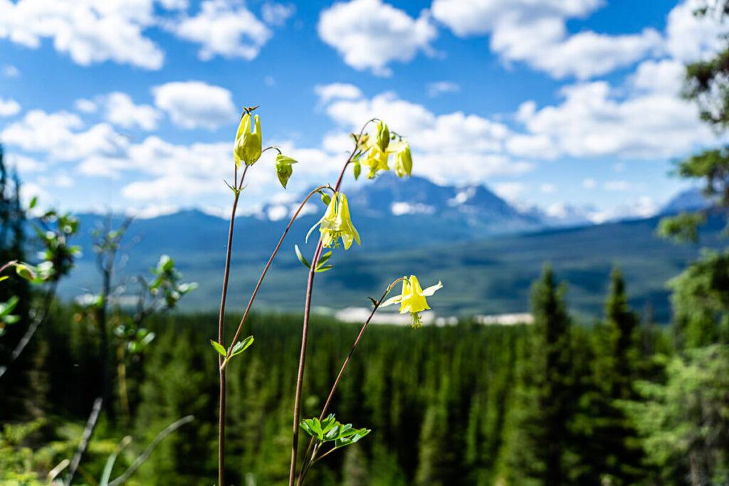 Wildflowers on Castle Mountain Lookout hike