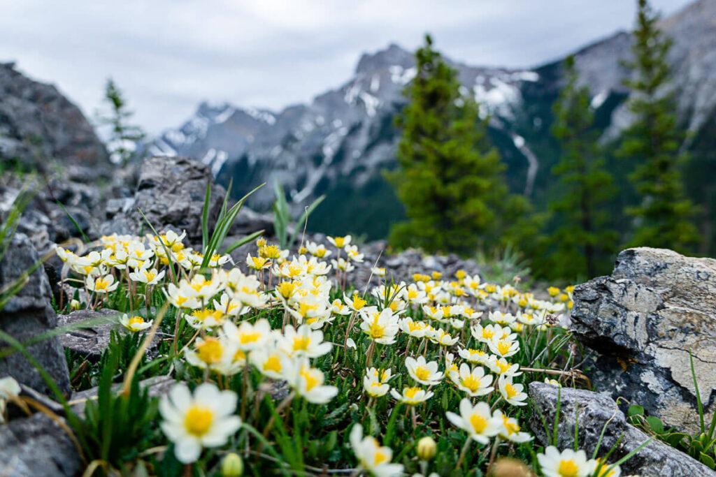 wildflowers on Wasootch Ridge trail in June