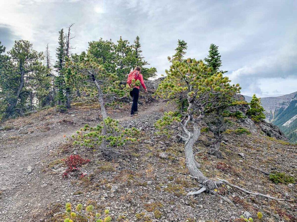 gnarled trees along Wasootch Ridge Trail Kananaskis