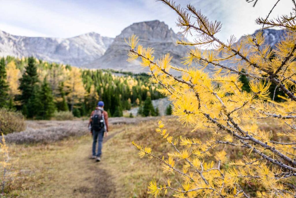 The Arethusa Cirque trail is one of the best larch hikes in Kananaskis