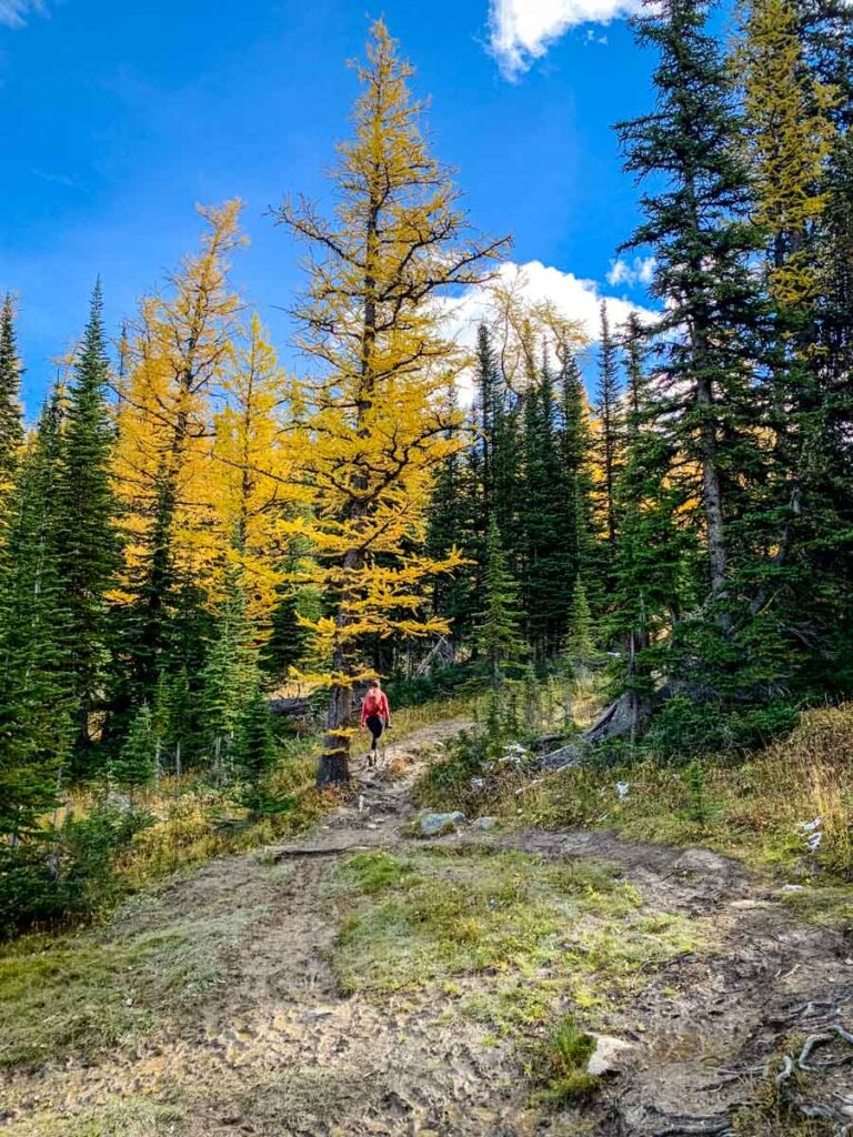 Enjoy fall colors with larch trees on the Twin Lakes trail in September