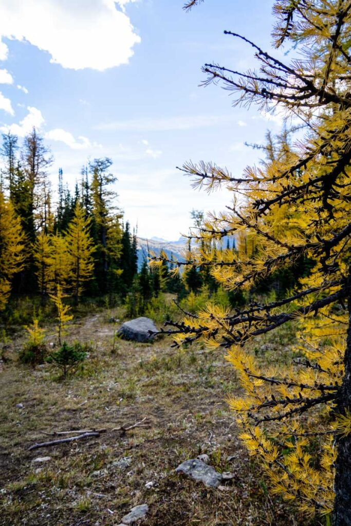 Enjoy a view of a distant larch forest on the hiking trail to the Twin Lakes in Banff