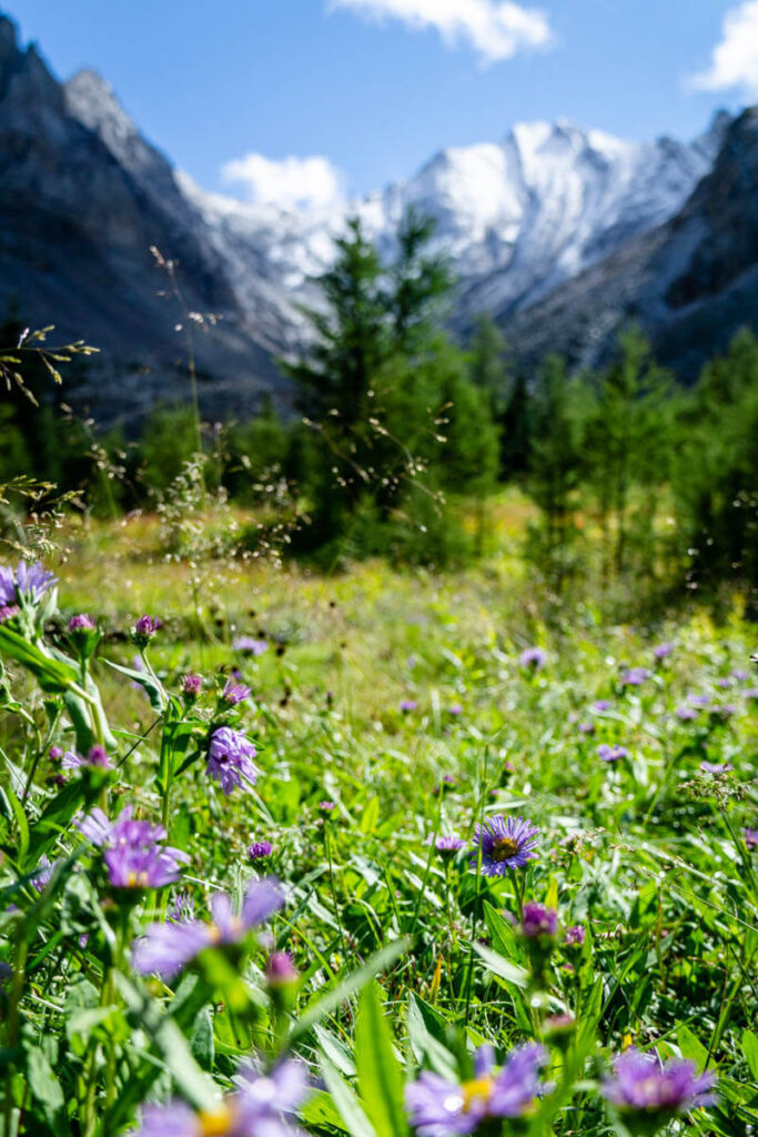 Purple flowers grow in a meadow below the larch forest on the Arethusa Cirque trail in Alberta, Canada