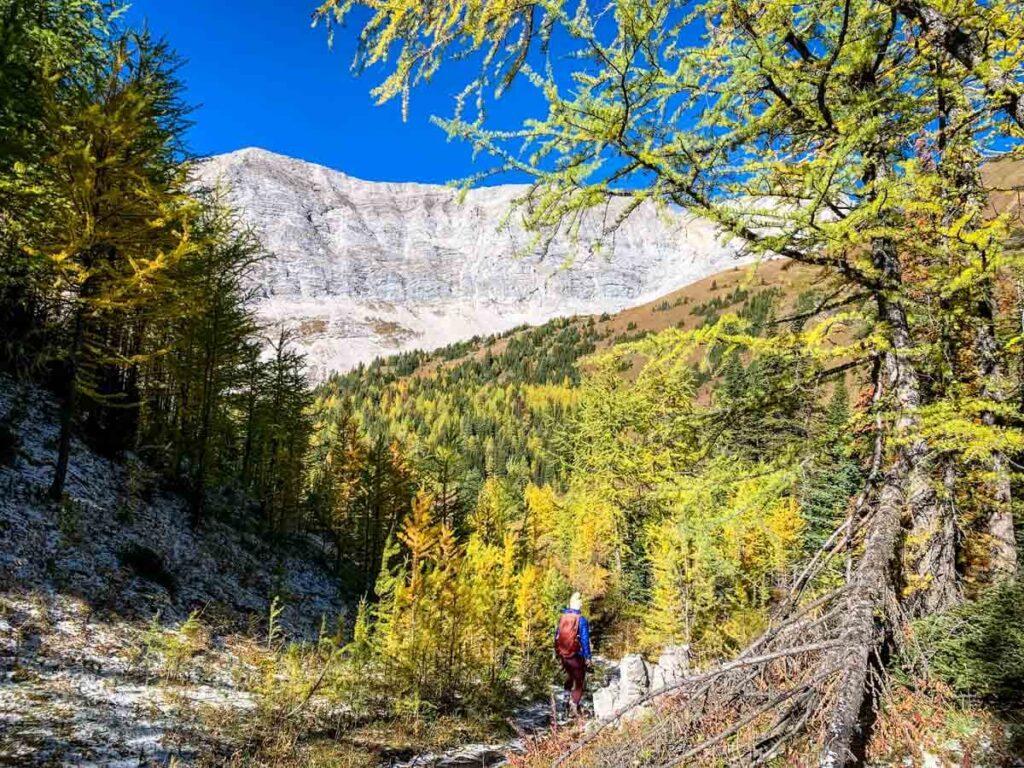 a beautiful Alberta larch forest beneath Mount Pocaterra