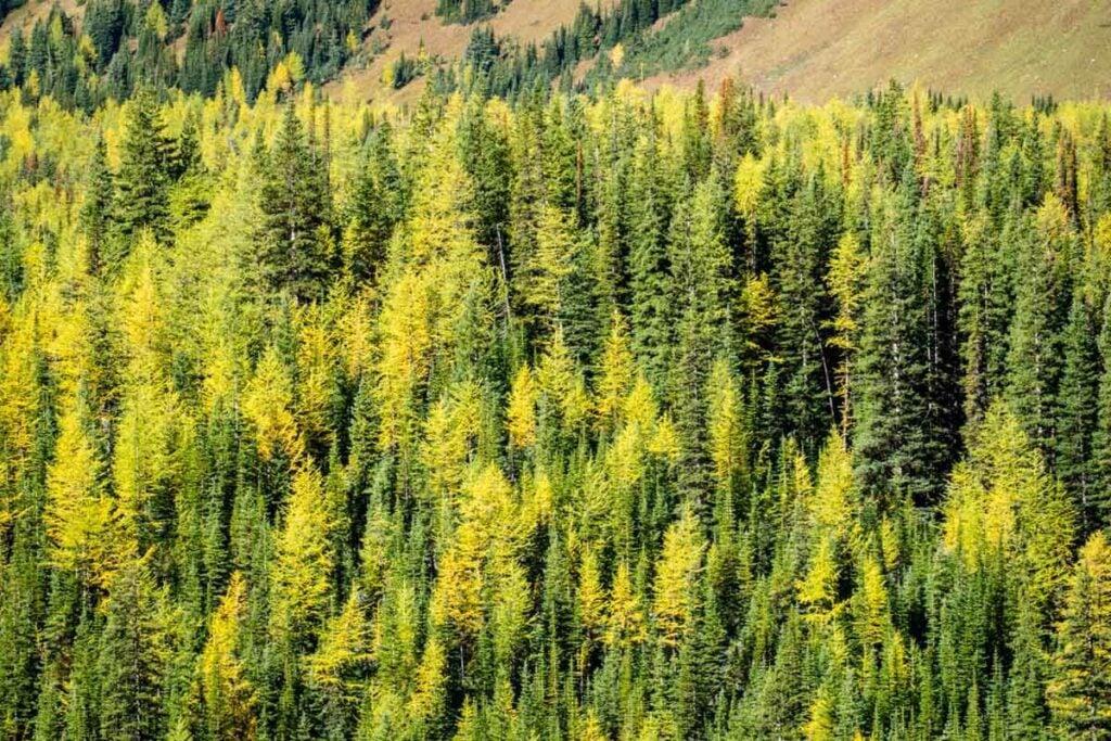 Golden larch trees in Kananaskis on Pocaterra Ridge trail