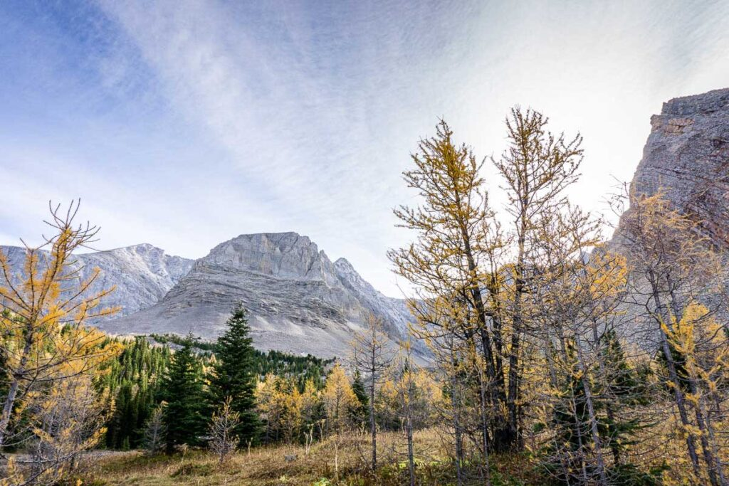 Golden larch trees still hang onto their needles in late September on the Arethusa Cirque hike in Kananaskis, Alberta