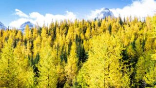 golden larches on Larch Valley hike at Moraine Lake