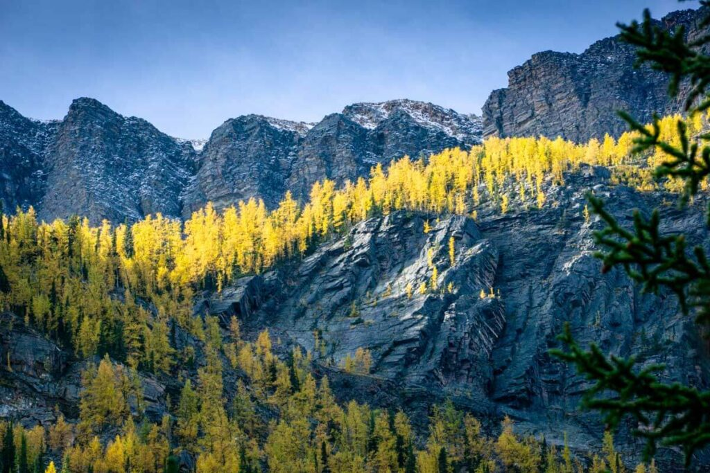 Golden larches on hike in Banff National Park