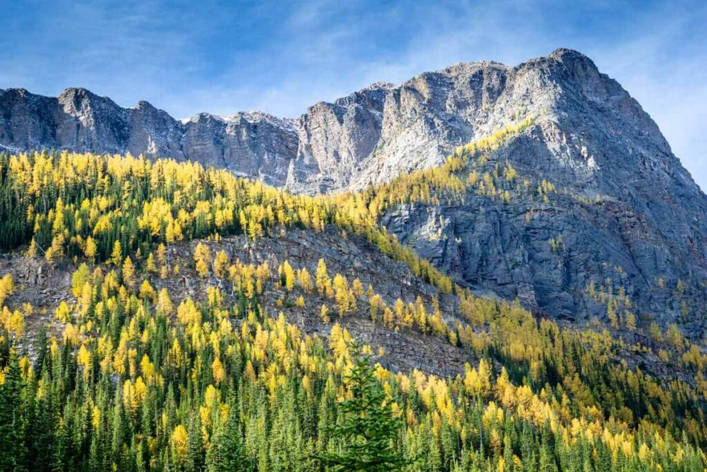 Golden larches on Storm Mountain - Best Banff Larch Hikes