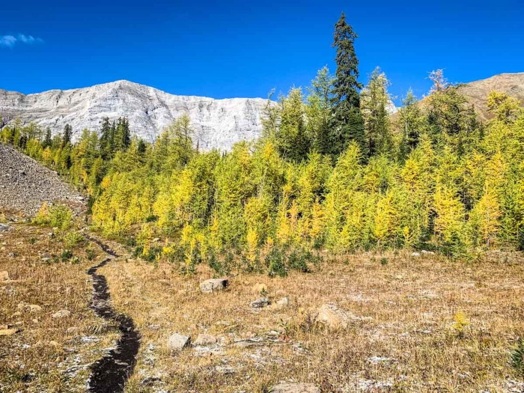 Pocaterra Ridge is one of the shortest larch hikes in Alberta