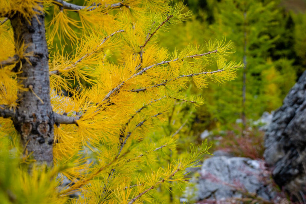 Pocaterra Cirque and Pocaterra Ridge are two of the best larch hikes in alberta
