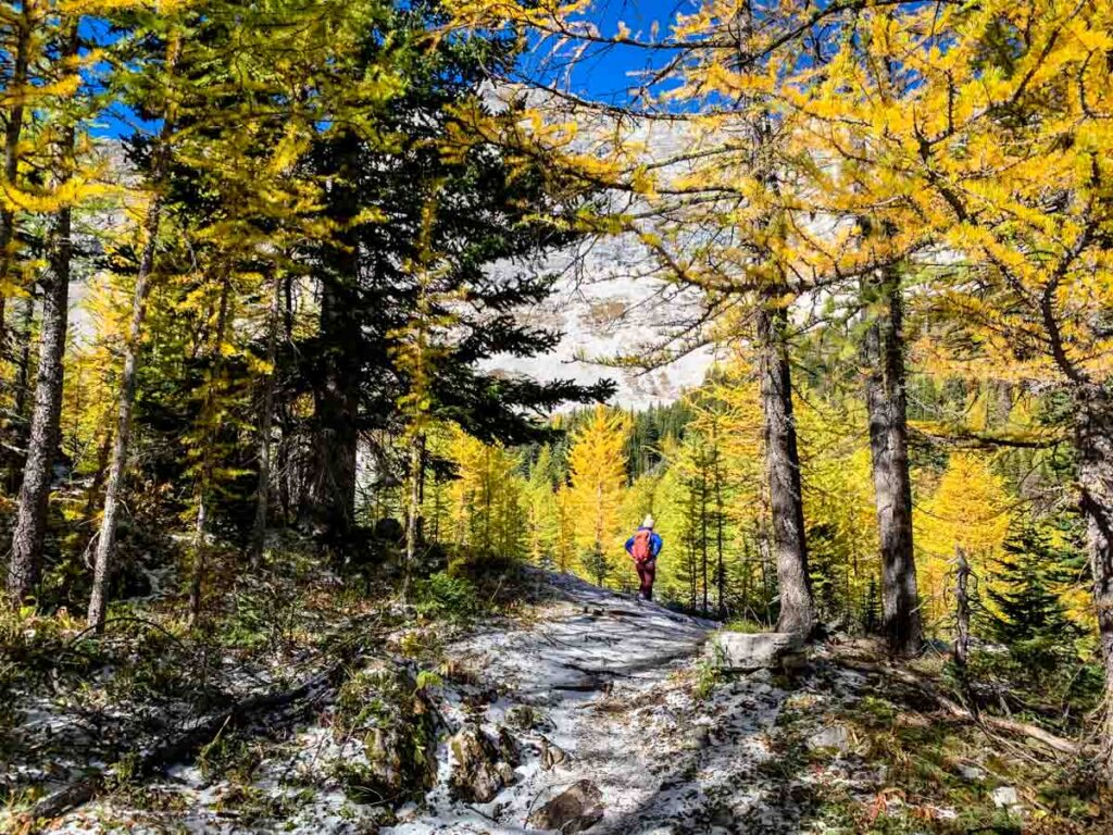 Hikers can choose between Pocaterra Cirque and Pocaterra Ridge to see the golden larch trees in Kananaskis