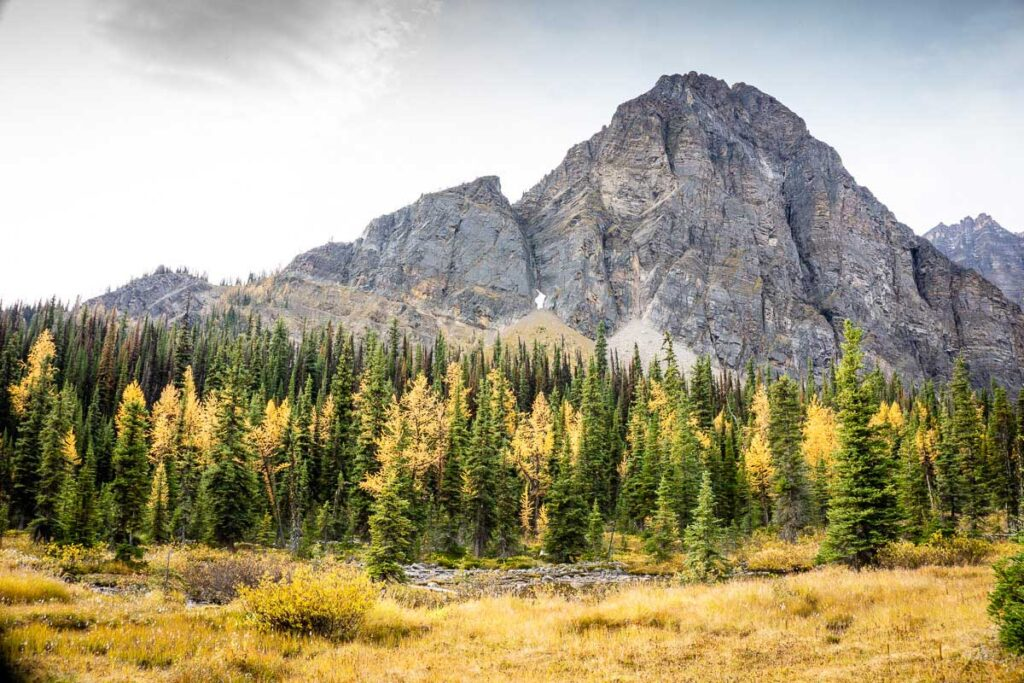 first view of golden larches near Taylor Lake hiking trail