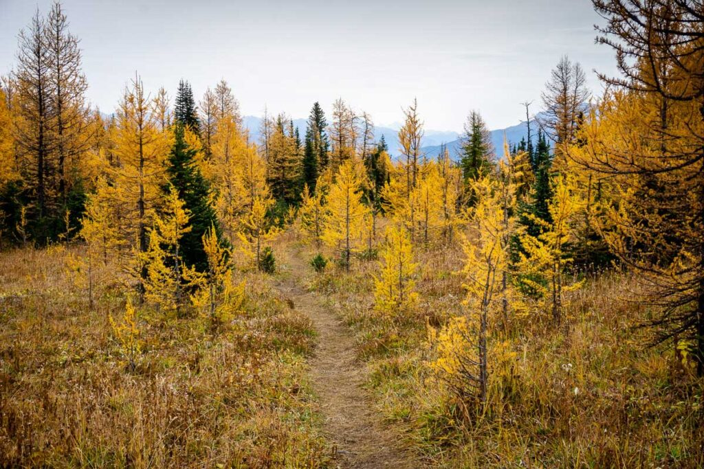 meadow past Taylor Lake (Banff) is full of golden larches in fall
