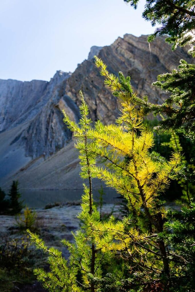larch trees in September in Kananaskis near Rummel Lake
