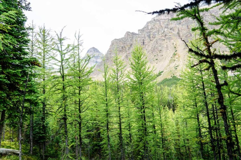Green Larch Trees in Larch Valley Banff