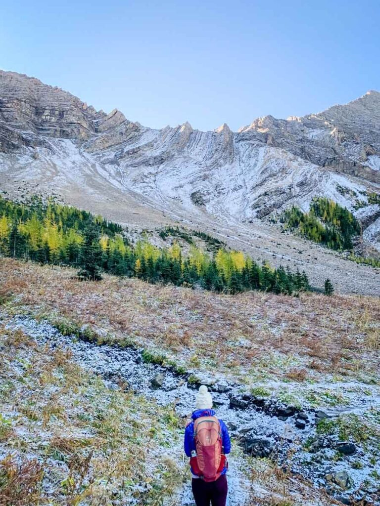 A meadow of golden larch trees in Kananaskis Country under Mount Tyrwhitt