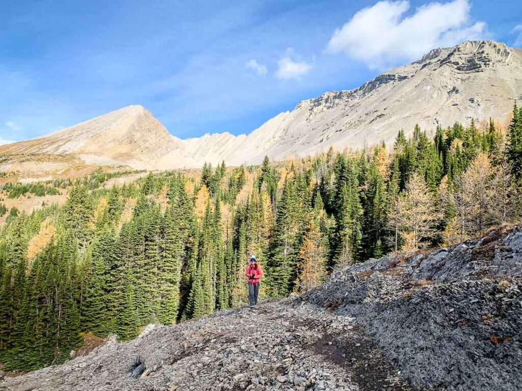 A beautiful larch forest beneath Mount Arethusa, Alberta, Canada