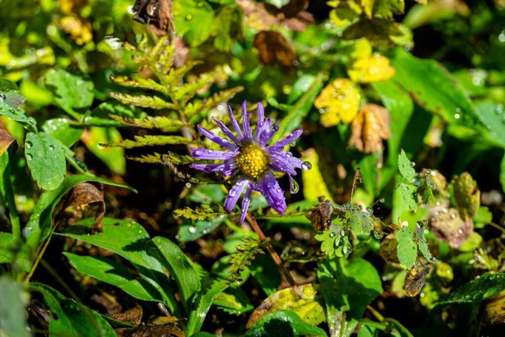 Wildflowers of Kananaskis Country, Alberta