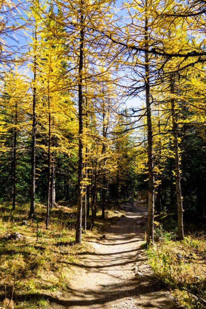 Larch Trees along Larch Valley Hike in Banff