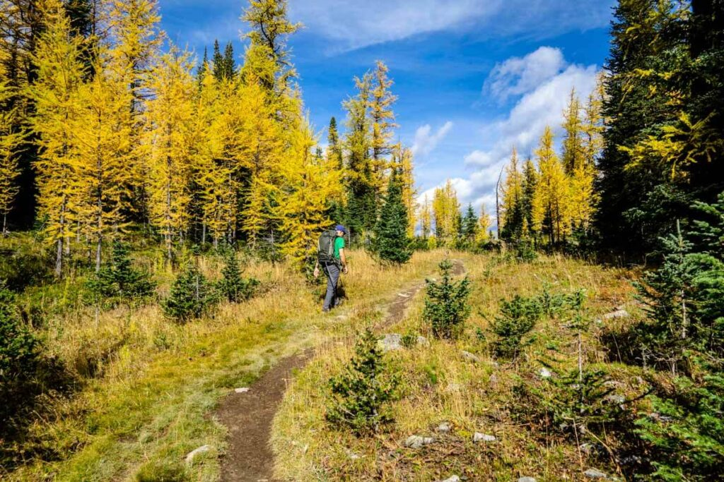 meadow full of golden larches near Arnica Lake trail in Banff