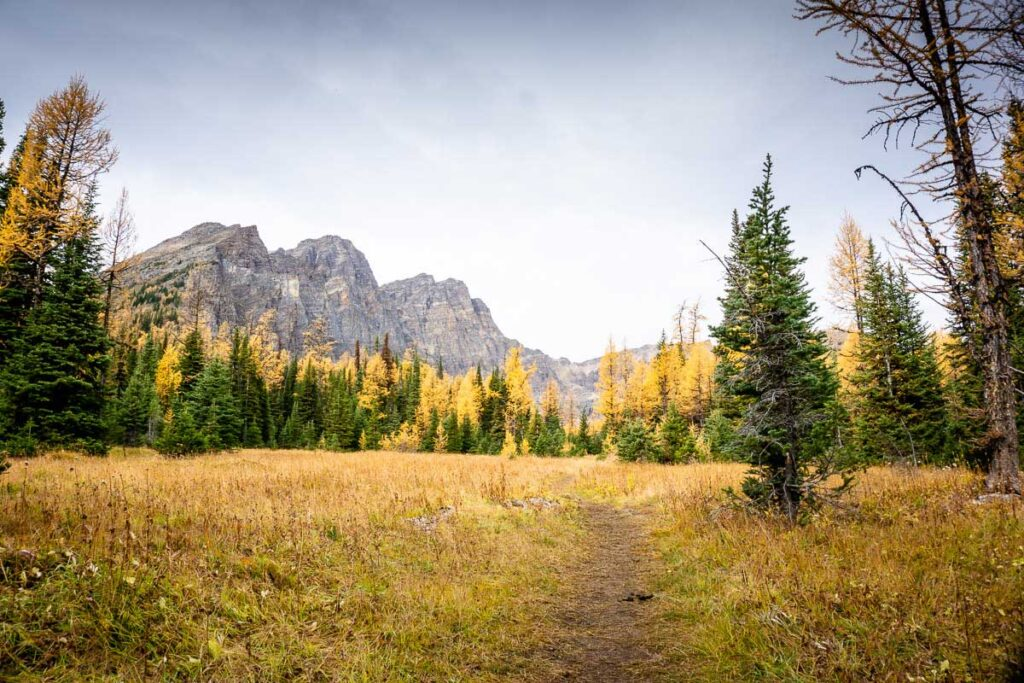 Meadow past Taylor Lake is perfect for seeing golden larches