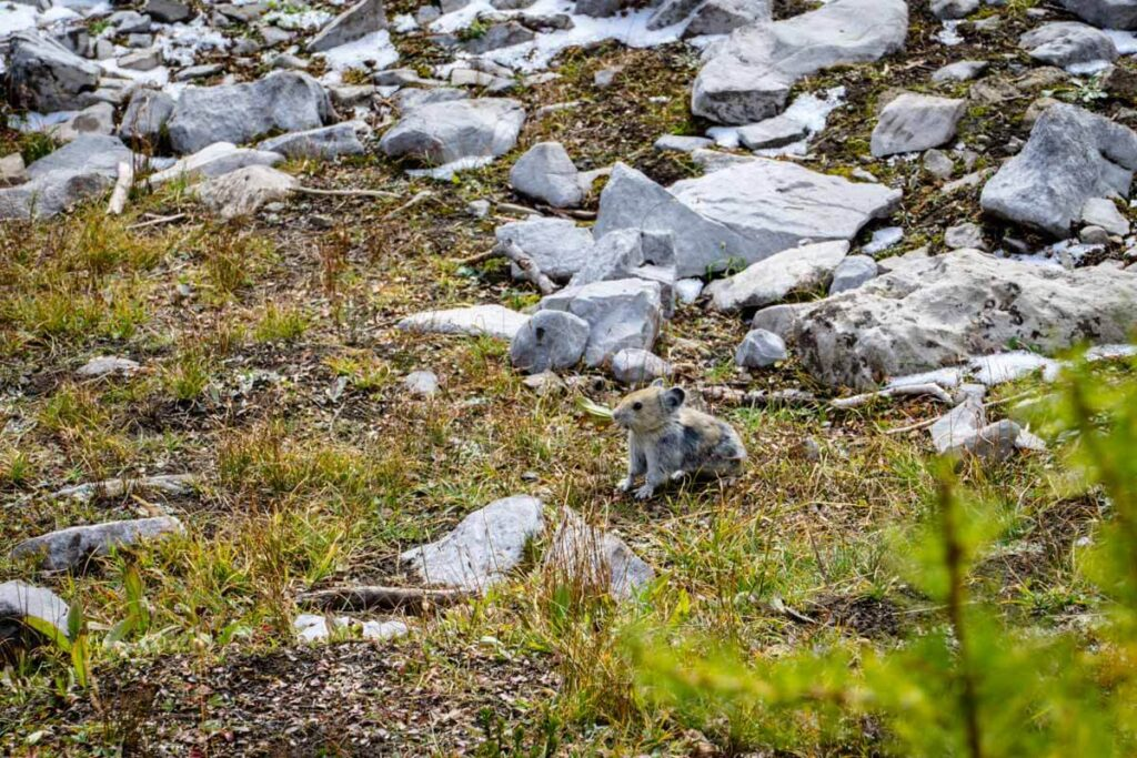 The many rock piles along the Kananaskis Pocaterra Ridge hike offers an excellent chance to see a Rocky Mountain pika - one of the cutest animals on earth