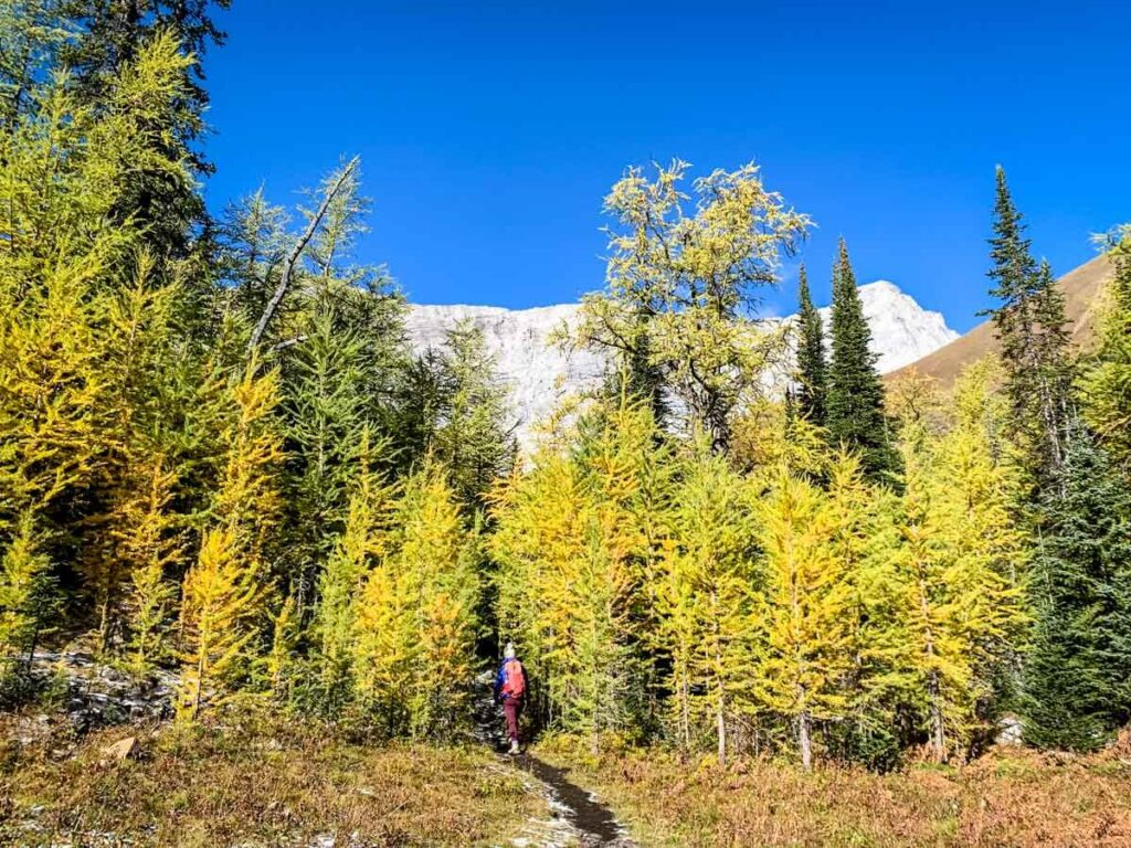 a larch forest in front of mount pocaterra alberta