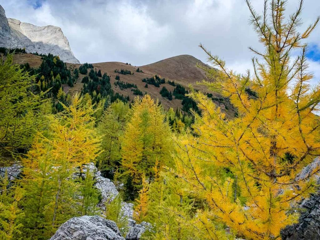 The summit of Pocaterra Ridge sits in-between Mount Pocaterra and a forest of golden larch trees