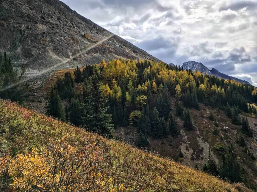Golden larches on Ptarmigan Cirque trail - larch tree hikes in Kananaskis