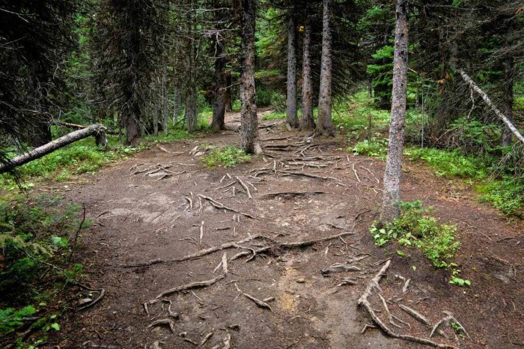 Roots along Ptarmigan Cirque (trail conditions)
