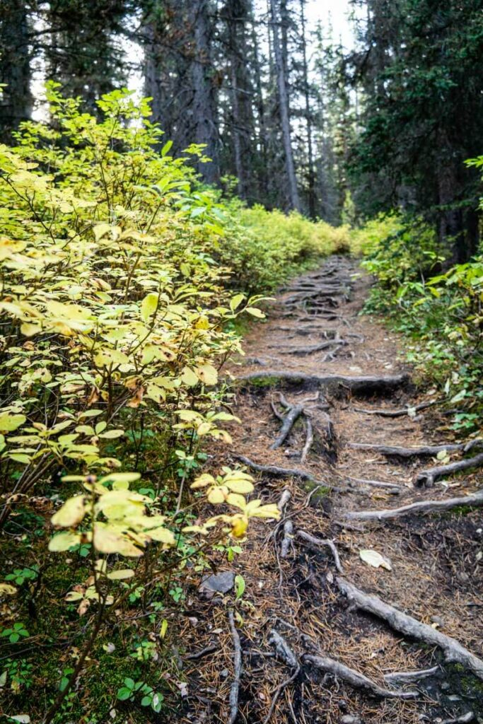 roots along Arnica Lake Trail - Banff National Park