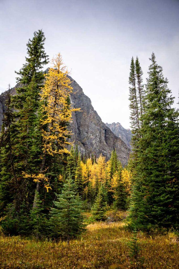 Golden larches in Banff in September