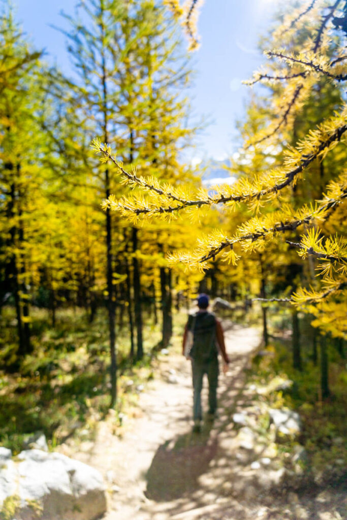 hiking amongst larch trees in Larch Valley - Banff National Park