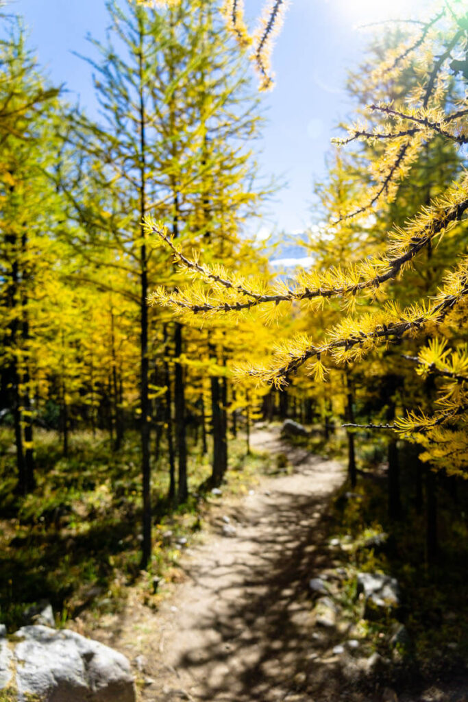 golden larch tree branch in August at Larch Valley - Banff National Park