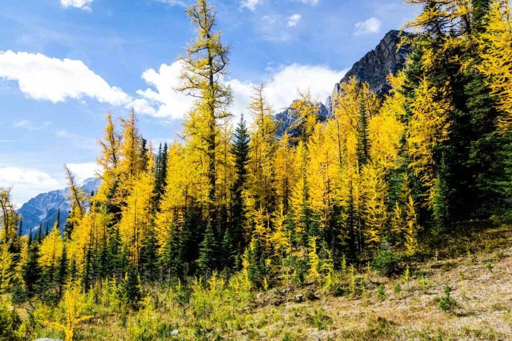 golden larches near Arnica Lake Banff