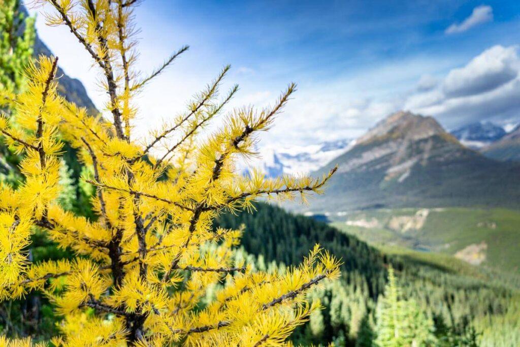 golden larch - Banff larch hikes