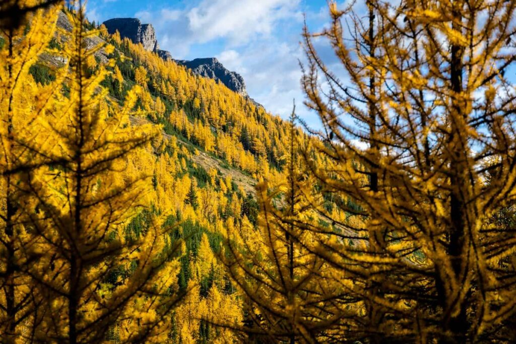 Larches in September on Larch Valley/Sentinel Pass Hike
