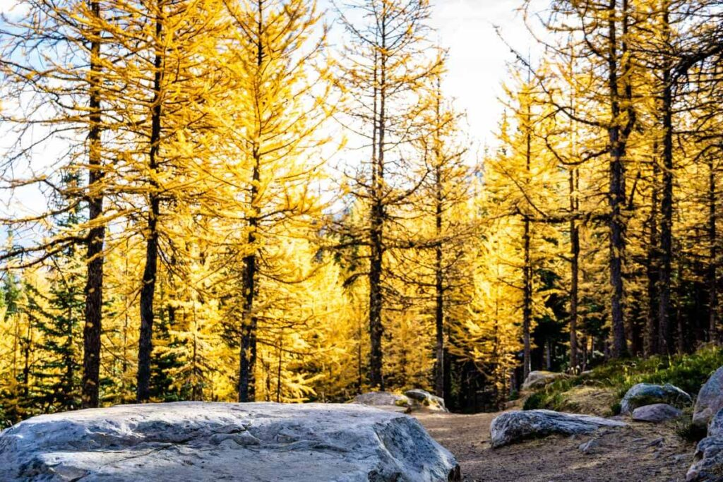 Golden Larches on Larch Valley hiking trail