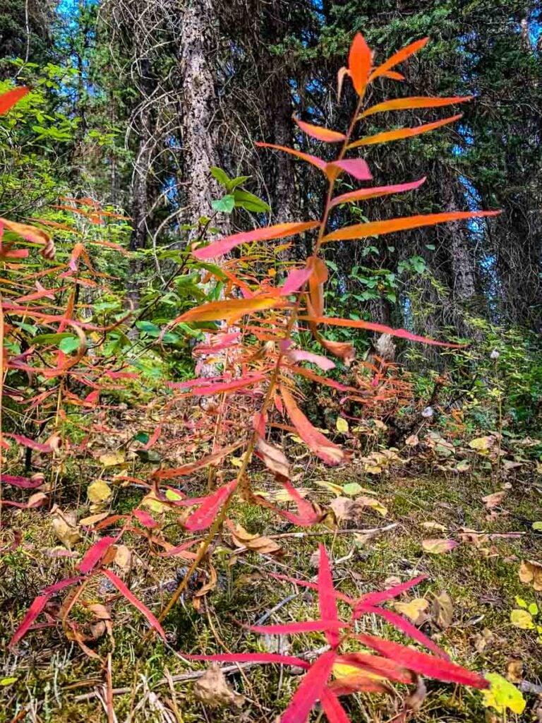 Wildflowers along Taylor Lake - Banff National Park