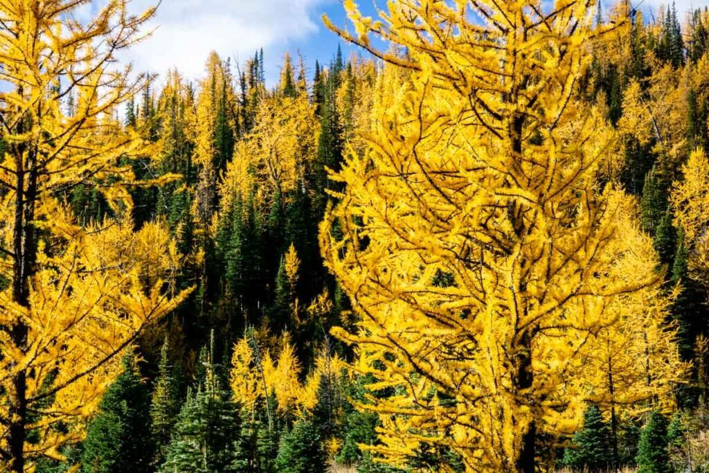 golden larches on Sentinel Pass Larch Valley Hike